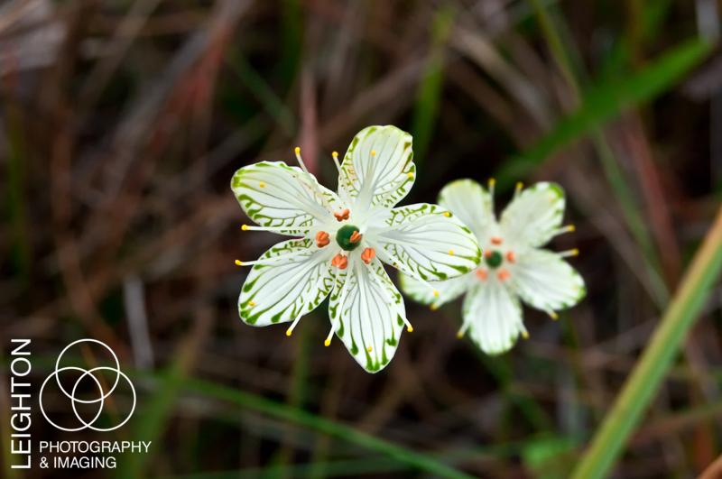 Grass-of-Parnassus flower