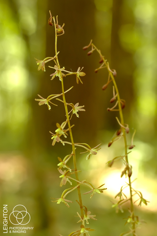 Cranefly Orchid - Tipularia discolor