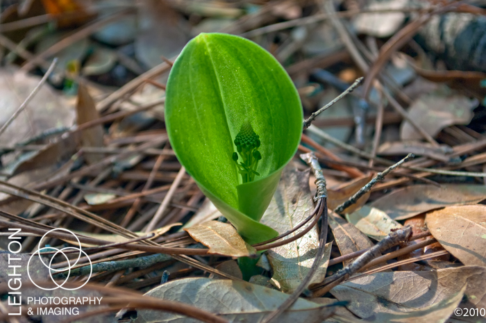 green adder's-mouth orchid (Malaxis unifolia)