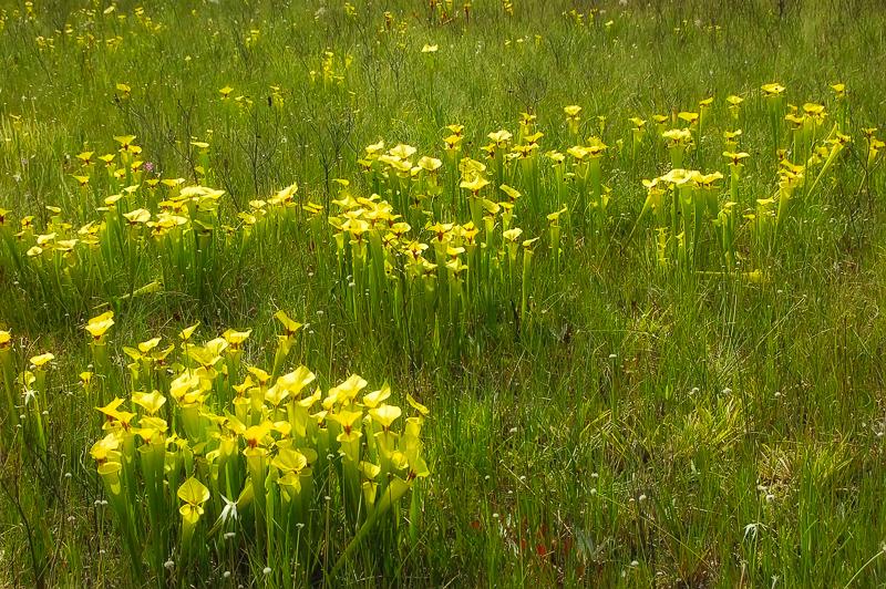 Florida Nature Facts #97 – Pitcher Plants
