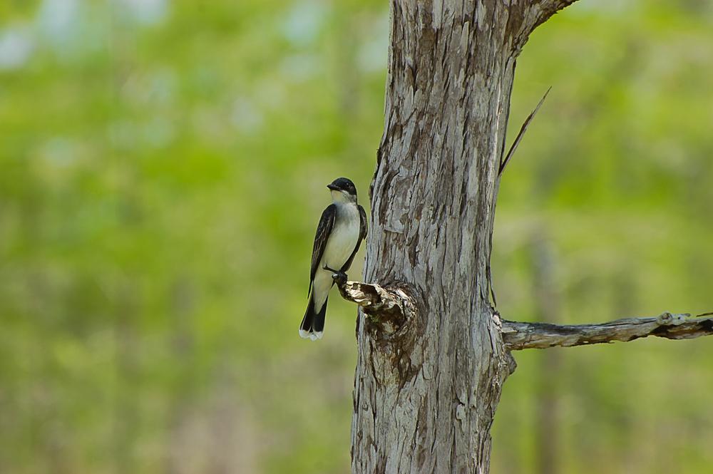 Florida Nature Facts #144 – Eastern Kingbird