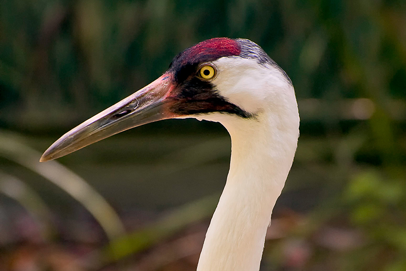 Florida Nature Facts #125 – Whooping Crane