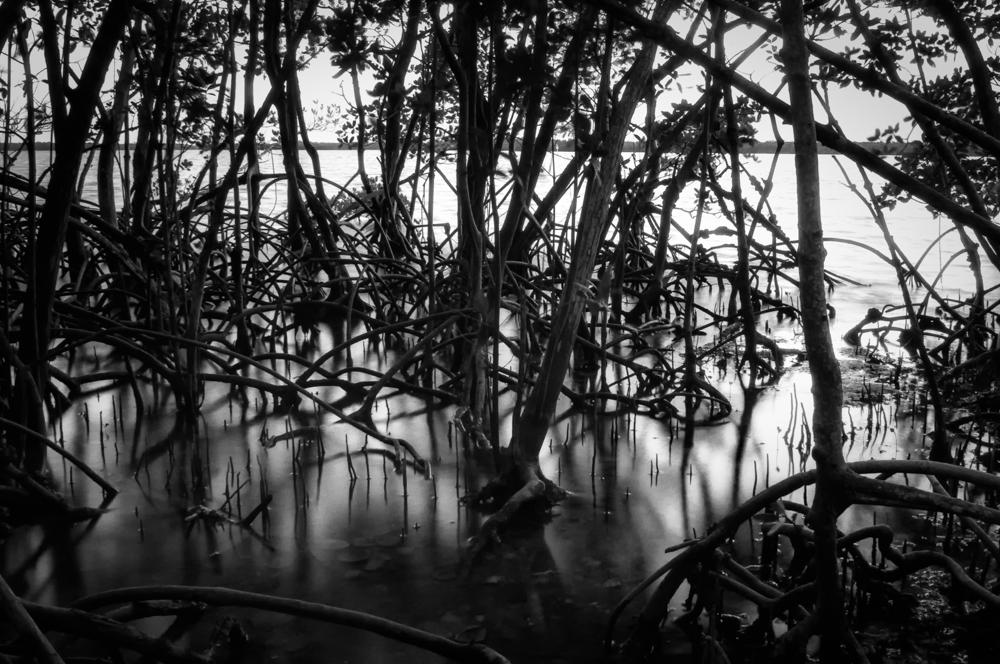Chokoloskee Mangroves