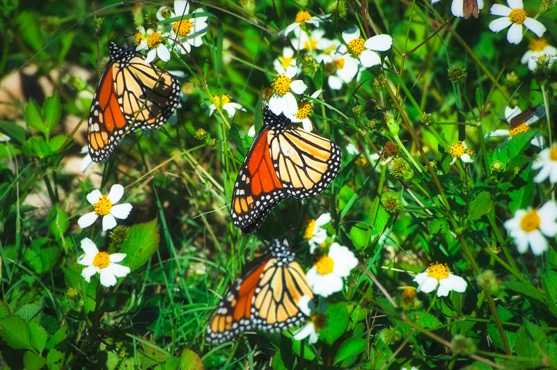 Florida Nature Facts #142 – Monarch Butterflies