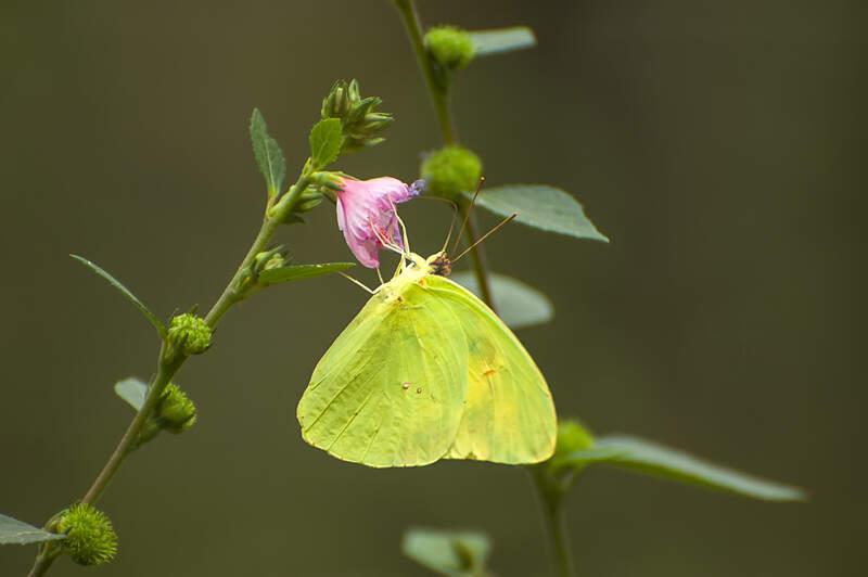 Florida Nature Facts #153 – Pierid Butterflies