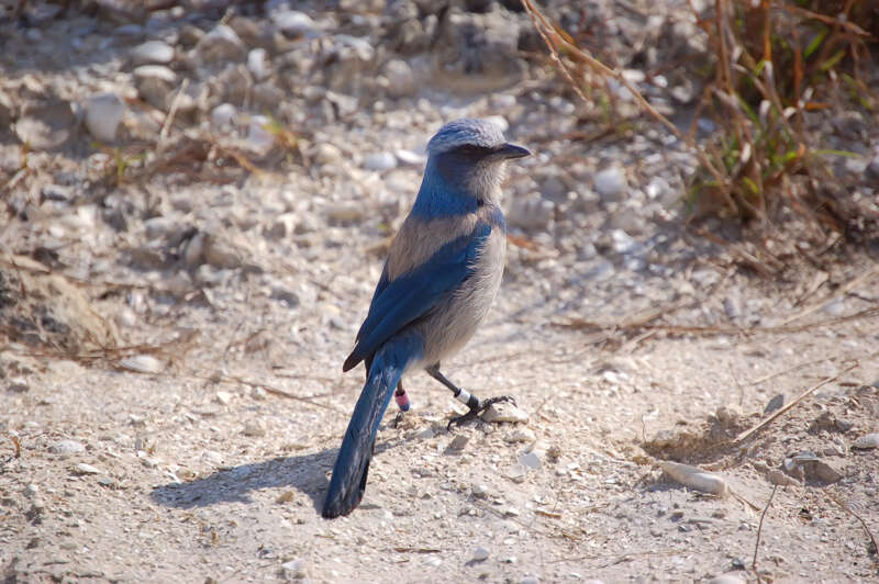 Florida Nature Facts #161 – Florida Scrub Jay